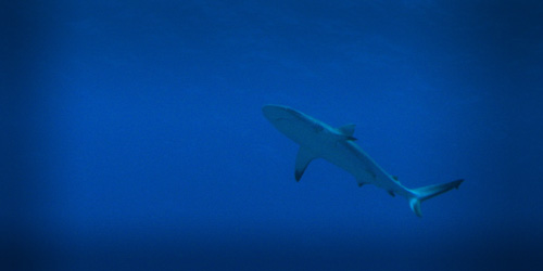 Underwater photo of reef shark, by Nicola Temple