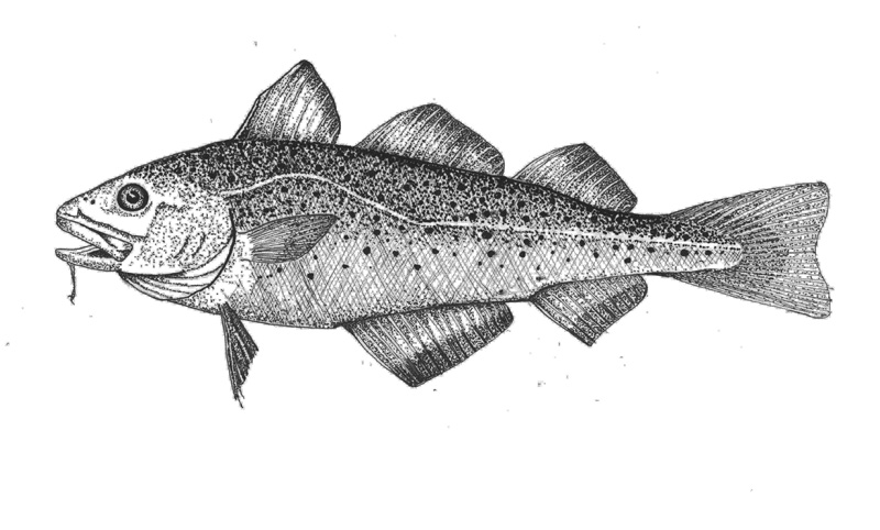 Beautifully drawn cod, in profile